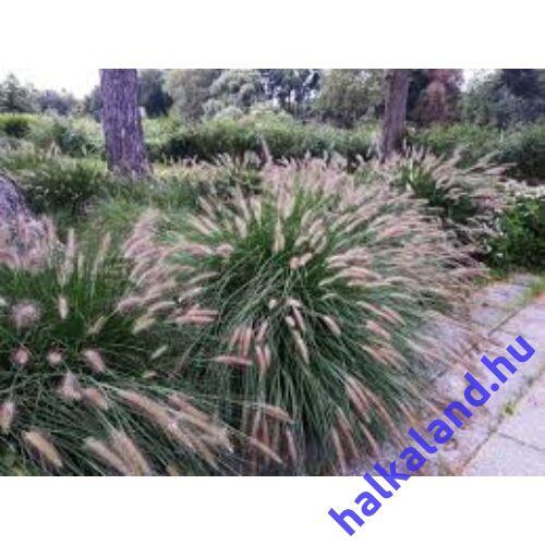 Pennisetum alopecuroides 'Hameln' - Drapp sötétzöld évelő tollborzfű