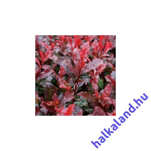 Photinia 'Red Fire', Korallberkenye