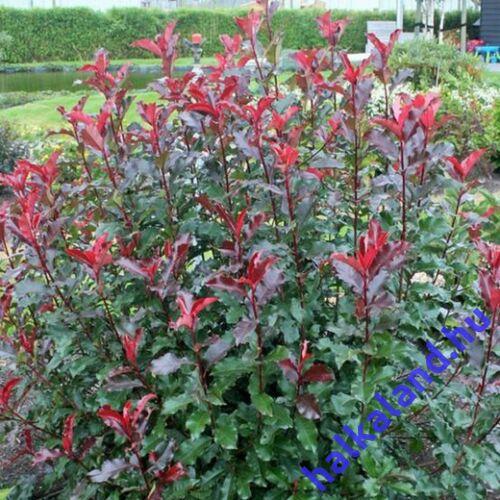 Photinia Red Select , Korallberkenye