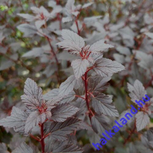 Physocarpus 'Little Joker'  Hólyagvessző