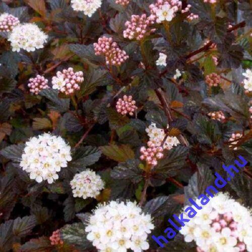 Physocarpus 'Red Baron' Hólyagvessző