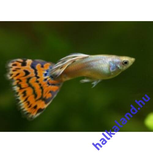 Poecilia reticulata - Szivárványos guppi