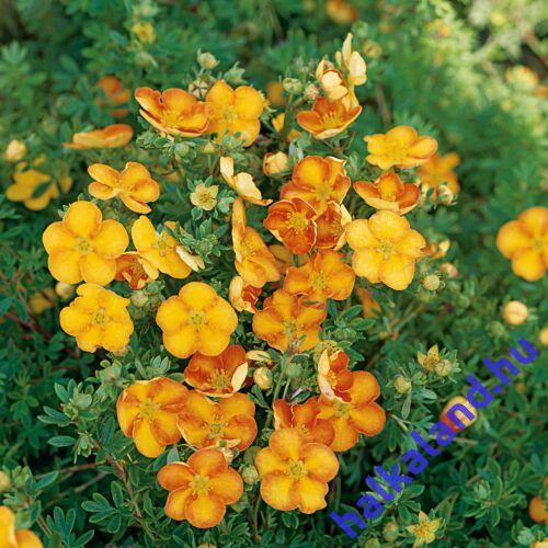 Potentilla fruticosa 'Hopley Orange' – Cserjés pimpó