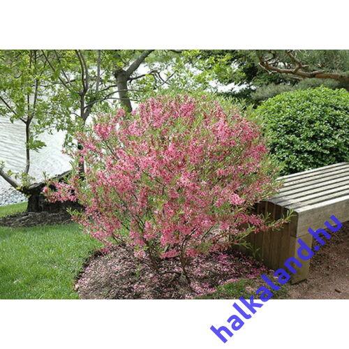 Prunus tenella - Törpe mandula