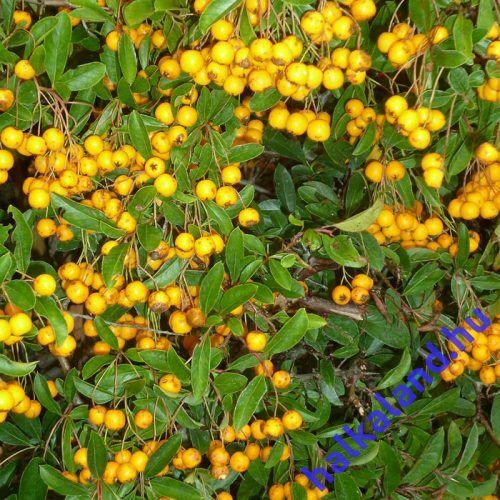Pyracantha Golden Charmer - Tűztövis