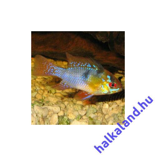 Ramirezi kék arany
