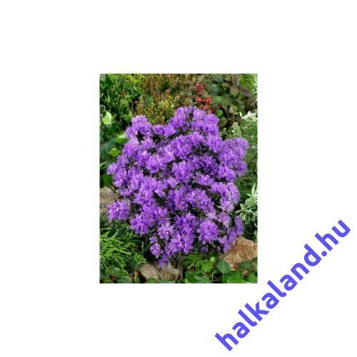 Rhododendron Purple Pillow ,Lila Törpe havasszépe