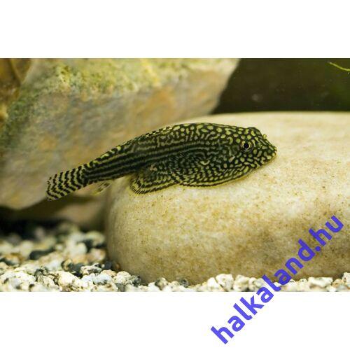 Rácsmintás palacsinta algázó - Sewellia lineolata