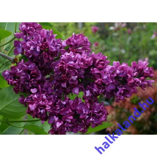 Syringa vulgaris Andenken Ludwig Spath - Lila orgona