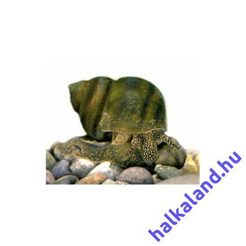 Tavi algaevő csiga - Fiallócsiga - Viviparus