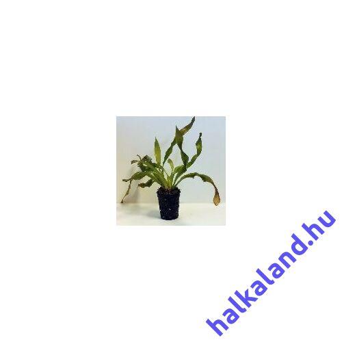 Csavart levelű Vallisneria