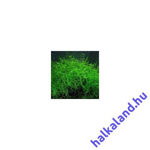 Vesicularia dubyana (Jávai moha) akváriumi növény