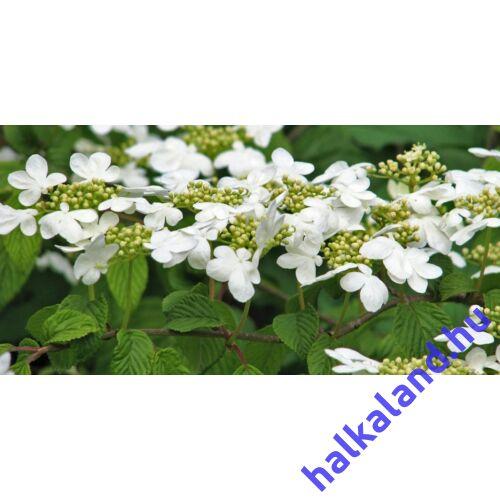 Viburnum plicatum 'Mariesii' - Redős levelű bangita