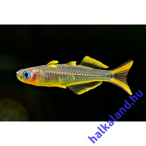 Villásfarkú kalászhal - Popondichthys furcatus