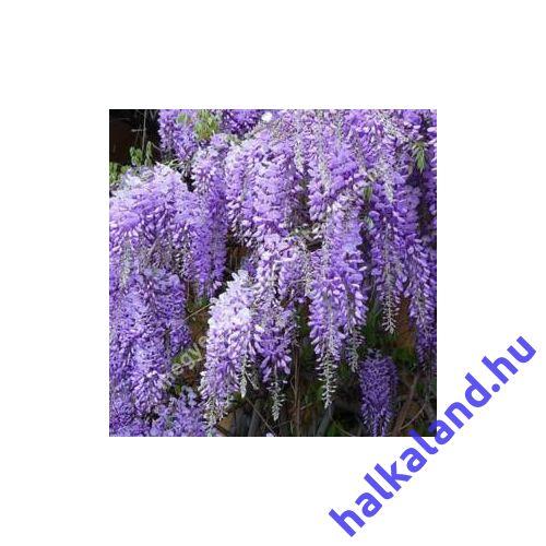 Wisteria sinensis 'Caroline', Lilaakác oltvány, Sötétlila virágú