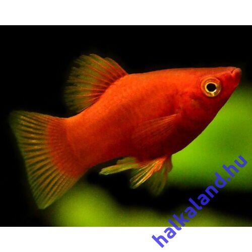 Piros Platti - Széleshátú fogasponty - Xiphophorus maculatus red