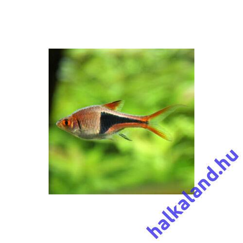 Ékfoltos razbóra - Rasbora heteromorpha