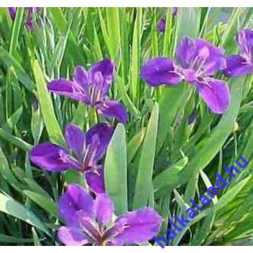 Iris lousiana - Kerti tavi növény