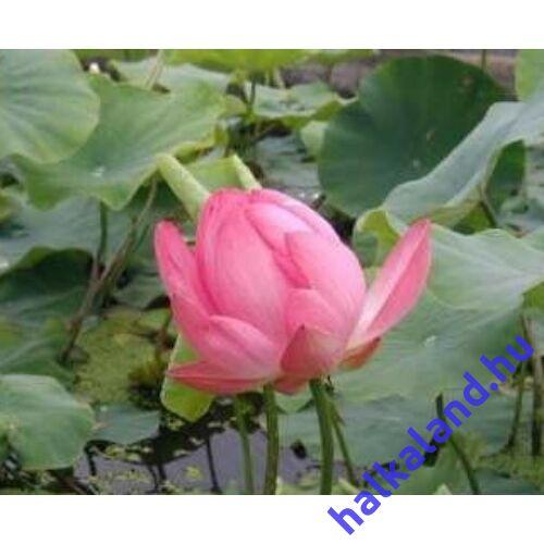 Nelumbo nucifera 'rose' - Rózsaszín Indiai Lótusz - kerti tavi növény