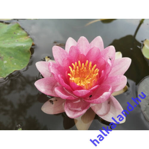 Nymphaea starburst - tavi rózsa